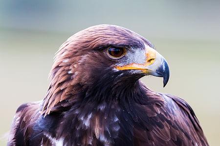 Maakotka, Adler, lintu, sulka, Luonto, luonnonvaraisten lintujen, lentää