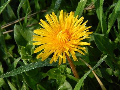 민들레, 자연, 이 슬, dewdrop, 공장, 노란색, 야생 꽃