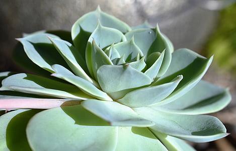 piante grasse, pianta, verde, natura, struttura, giardino di pietra, giardino