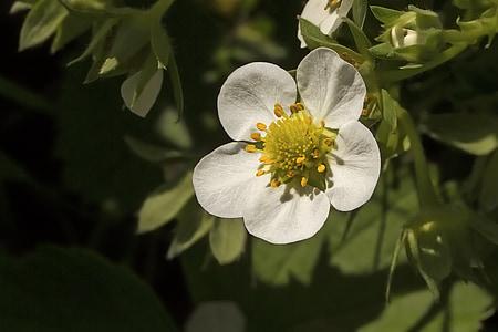 jagode cvet, beli cvet, jagoda, Fragaria, vrtna jagoda, narave, cvet