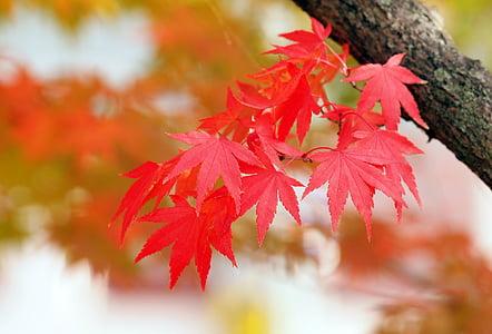 fulles vermelles, auró, tardor, fulla, canvi, fulla d'auró, arbre d'auró