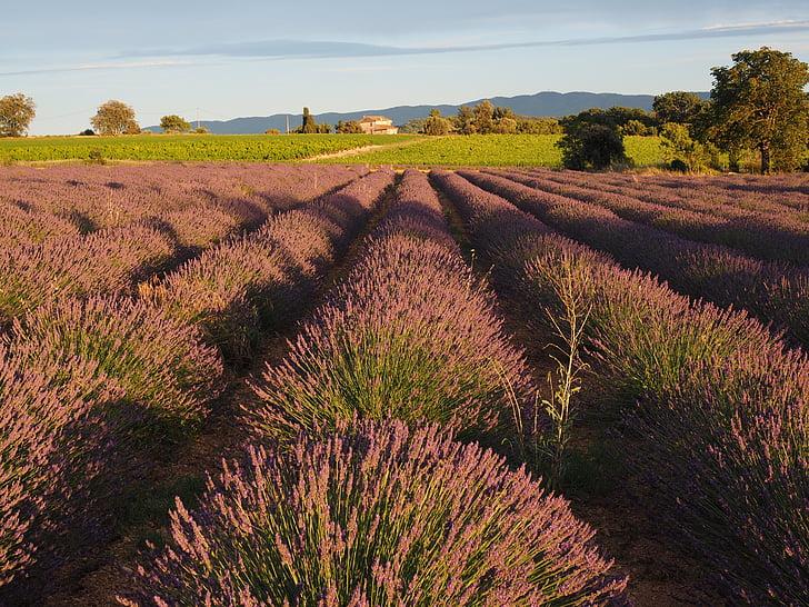 Lavendel veld, lavendel, avondzon, lavendel, Violet, teelt van lavendel, sierteelt
