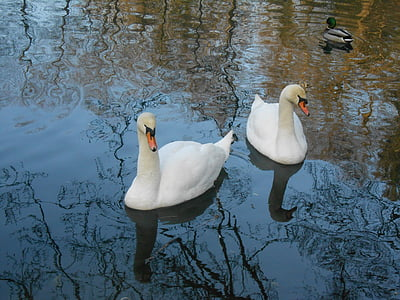 лебед, лебеди, вода птица