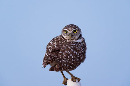 owl, bird, animal, pet, wildlife, nature, bird of Prey