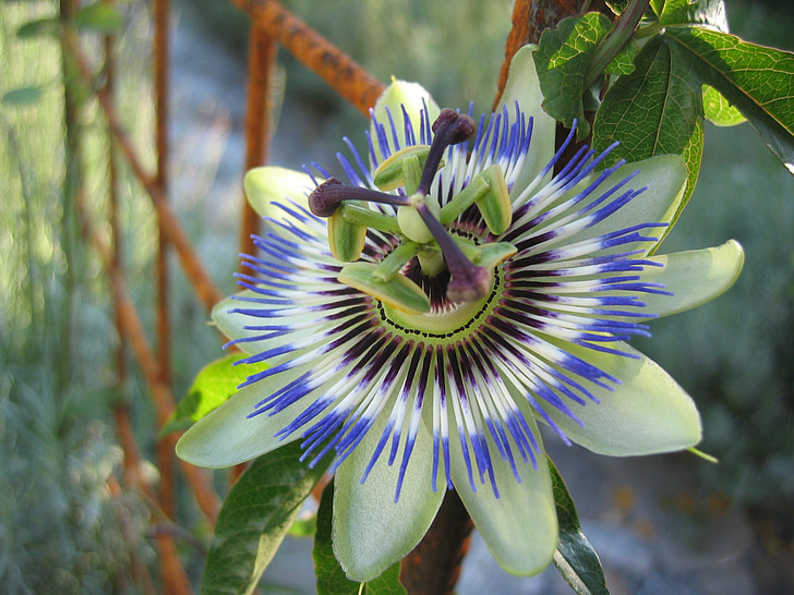 flor de la passió, Passiflora caerulea, flor, Amèrica Llatina, planta de flor de passió, planta, flor