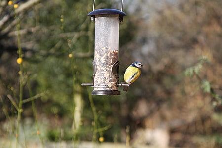 син синигер, градински птица, птица, синьо, синигер, Градина, дива природа