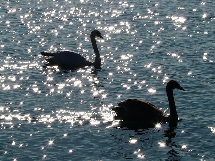 лебед, лебеди, животните, фауна, вода, води, обратно светлина