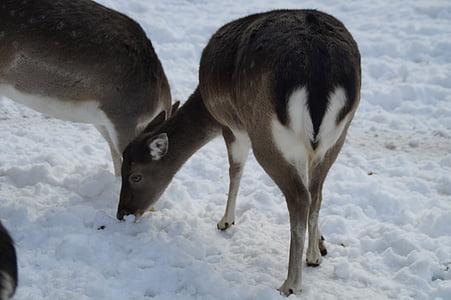 Roe deer, hươu fallow, hoang dã, mùa đông, tuyết, bộ lông mùa đông, wintry