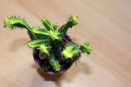 cactus, plant, potted plant