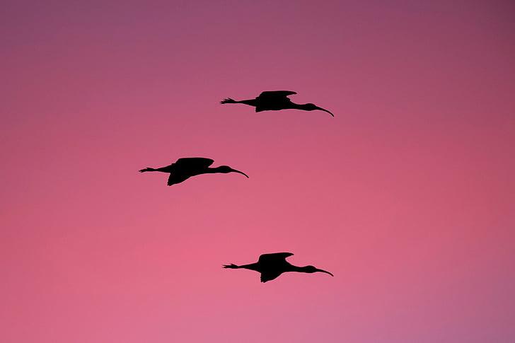 три, дълъг, косатка, птица, плаващи, силует, снимка