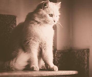 猫, 動物, ホワイト, ペット, かわいい, 子猫, キティ