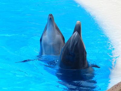Dofí mular, Tursiops truncatus, dofins, musell, animals, meeresbewohner, Delphinidae