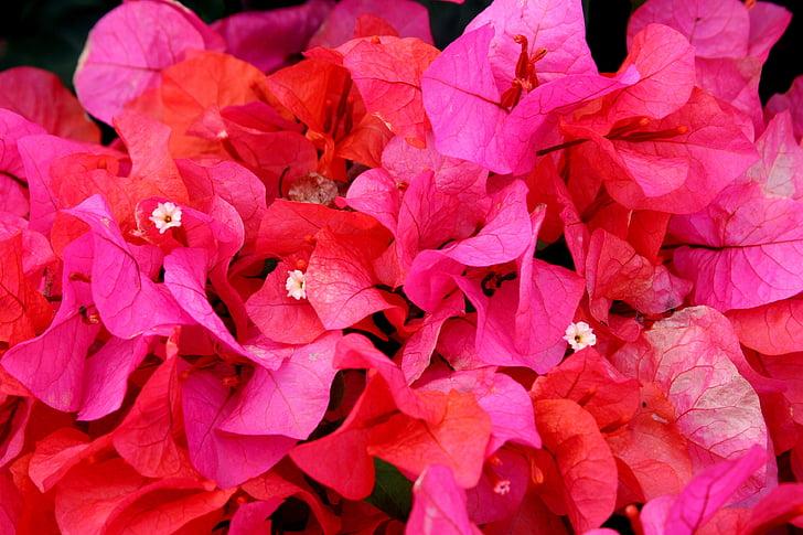 цветок, Гавайи, завод, Бугенвиль, розовый, Природа, красочные