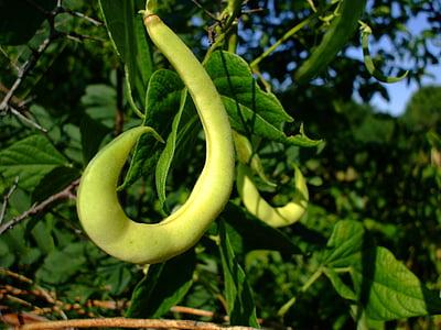 Bean pod, Boon, pod, groen