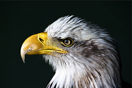 close, photo, bald, eagle, bust, bird, beak