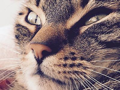 kissa, silmät, Kauneus, eläinten, Sulje, yksi eläin, kotikissa