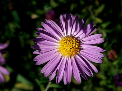 lill, krüsanteem, lilla, ilus lill, Emajõe luht, Värviline, kroonlehed