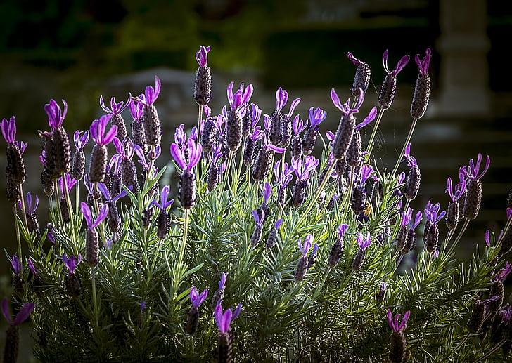 levandule, kytice, květ, květinové, fialová, Příroda, závod