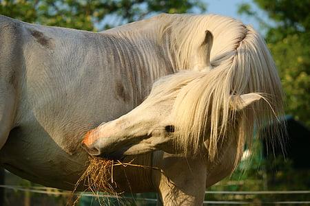 konj, kalup, pastuh, čistokrvni arapski, konjsku glavu, pferdeportrait, životinja