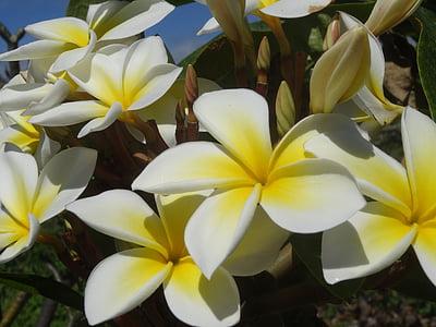 plumeria, 꽃, 블 룸, 향수, 아름다움, 꽃, 프 르 메리 아