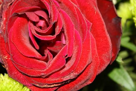 上升, 红色, 玫瑰绽放, 开花, 绽放, 香味