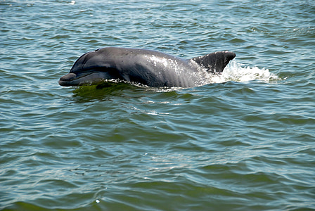 Dolphin, Wildlife, Wild, River, Ocean, Luonto, Sea