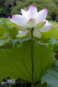 china wind, lotus, flower, artistic conception, plant, nature, petal