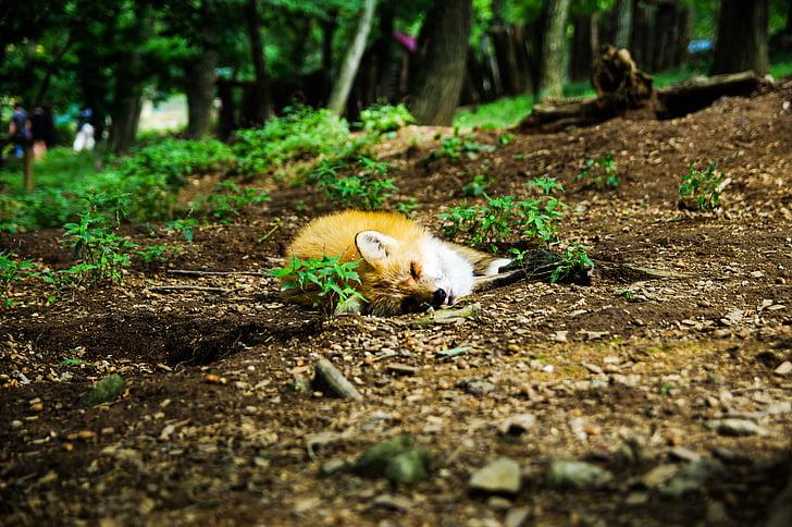 hewan, Fox, tidur, tidur, Manis, alam, di luar rumah
