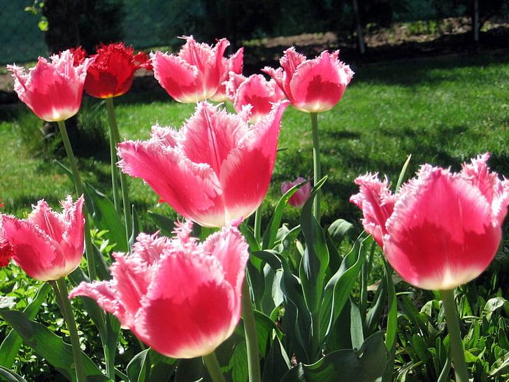 Tulipa, tulipes, flors, plantes, primavera, jardí, natura