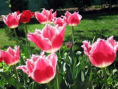 лале, лалета, цветя, растения, Пролет, Градина, природата