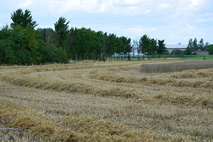 collita, collita de cereals, l'agricultura, camp, camp, la collita, l'estiu