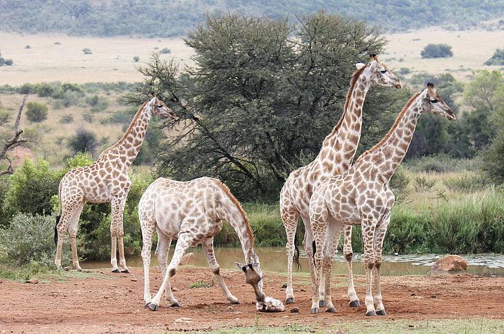 giraffes, south africa, wilderness, safari, giraffe, africa, national park