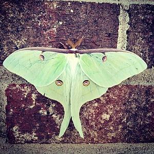 luna, moth, luna moth, green, eyes, nature