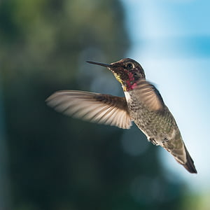 hummingbird, wildlife, nature, flight, one animal, flying, bird