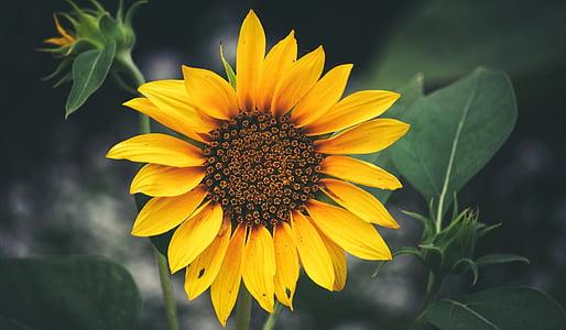 sunflower, balboa park, closeup, flower, garden, floral, san