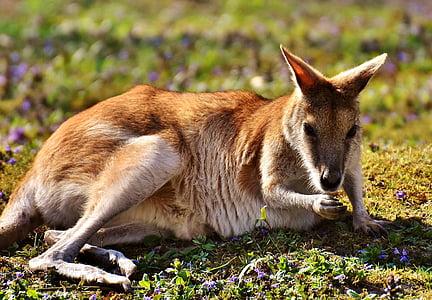 kangaroo, wild animal, animal, animal world, meadow, tiergarten, tierpark hellabrunn