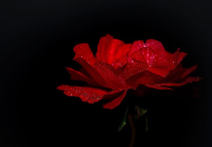 ruža, Crveni, cvijet, cvatu, makronaredbe, priroda, Zatvori