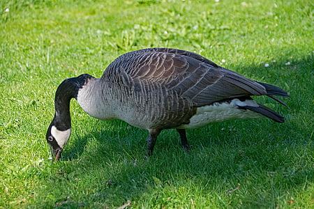 Казарка канадська, гуска, Бранта, canadensis, Канада гусей, птах, Птахи