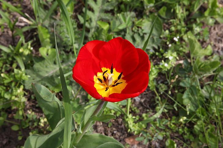 red flower, tulip, garden flower, bright, bloom, macro, spring flowers