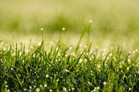 morgen, dugg, gresset, vann, DROPS, grønn, frisk