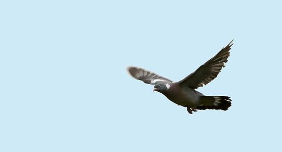 fågel, duva, flyg, flygande, vingar, spridning, djur