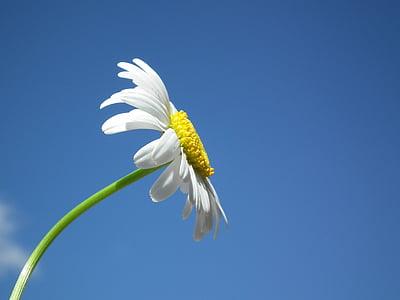 flor, Margarida, blanc, flors, dia, cel, blau