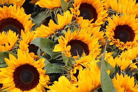 Sun flower, lill, loodus, kollane, taust, suvel