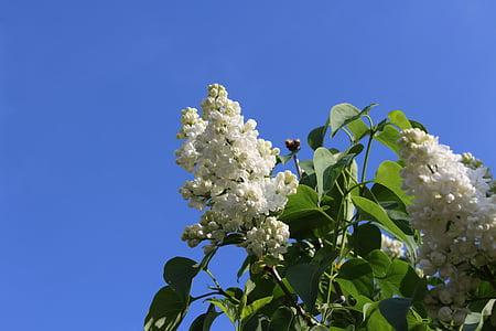 lila, blanc, primavera, lilà blanc