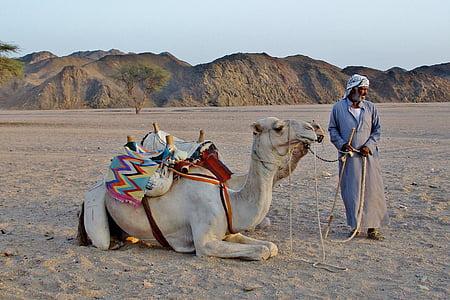 lạc đà, người Bedouin, sa mạc, Cát, Ai Cập, lạc lạc đà, sa mạc Sahara