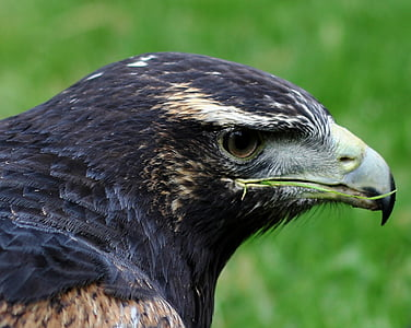 harmaa Hiirihaukka eagle, saalis, Wildlife, lintu, Luonto, Hiirihaukka, Eagle