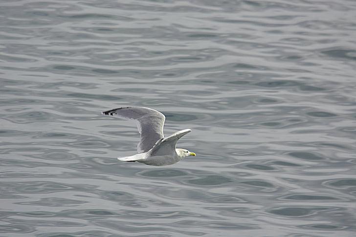 lintu, Luonto, eläinten, eläimistö, Sea bird, linnun lennättäminen, vedessä linnut