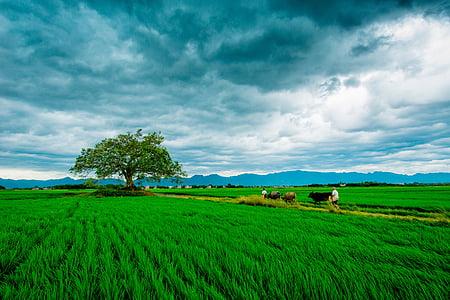 v pšeničné polia, poľnohospodárstvo, zelená tráva, obyčajný, scenérie, fotografovanie, Príroda