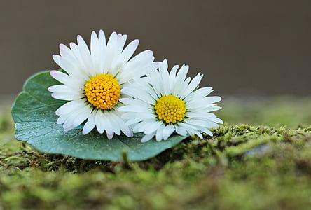 데이지, 야생화, 그린, 봄, 꽃, 자연, 야생 꽃