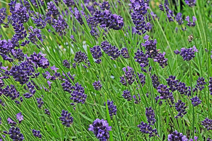 Levanda, sodas, žiedų, žydėti, violetinė, violetinė, dekoratyvinių augalų